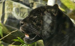 Обои взгляд, хищник, чёрный, пантера, ягуар, морда, профиль