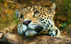 Картинка взгляд, Леопард, лежит, leopard
