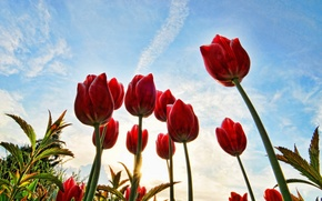 Картинка небо, солнце, облака, стебли, тюльпаны, красные, бутоны