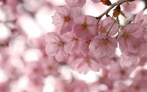 Картинка небо, макро, деревья, цветы, ветки, ветви, весна, лепестки, сакура, розовые, цветение