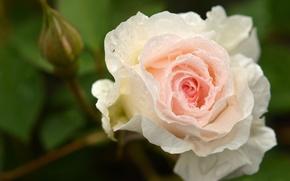 Обои роза, бутон, макро, капли