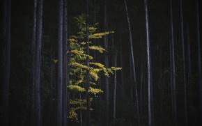 Картинка осень, лес, деревья, природа, дерево, листва, Япония, Гинкго