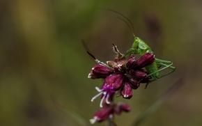 Картинка макро, цветы, насекомые, природа, зеленый, кузнечик