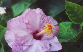Картинка macro, purple, hibiscus