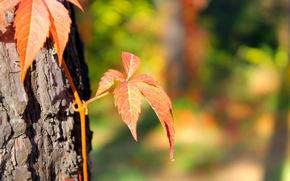 Картинка осень, Макро, размытость, сосна, плющ, Алматы, ботанический сад