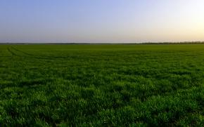 Картинка зелень, деревья, закат, горизонт, Пшеничное поле, следы на поле, Голубое небо