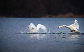 Картинка вода, капли, любовь, брызги, птицы, озеро, пруд, берег, игра, крылья, пара, лебеди, водоем, взмах, резвятся, …
