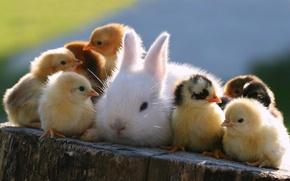 Картинка животные, цыплята, кролик, пасха