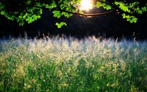 Картинка трава, листья, солнце, природа, дерево, колоски