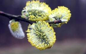 Картинка макро, жёлтый, обои, растение, ветка, весна, верба, сезон, весенний, цветущий