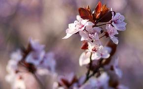 Картинка цветы, дерево, ветка, весна, цветение, фруктовое