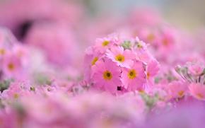 Обои цветы, широкоэкранные, примула, HD wallpapers, обои, полноэкранные, background, fullscreen, макро, широкоформатные, цветочки, примулы, фон, widescreen, ...