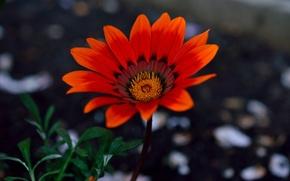Обои цветок, макро, лепестки, сад