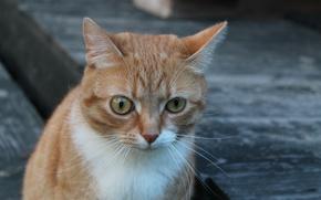 Картинка взгляд, Кот, рыжий