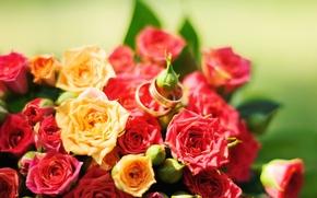 Картинка цветы, розы, желтые, красные, red, rose, yellow, flowers