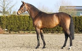 Картинка конь, лошадь, жеребец, красавчик, гнедой, horse, stallion