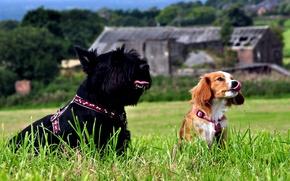 Картинка трава, взгляд, Собаки