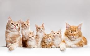 Картинка кот, кошки, котята, мейн-кун