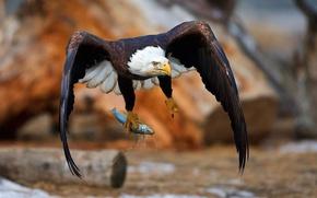 Картинка Eagle, bird, wings, fly, animal, fish, hunting