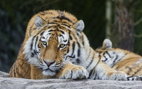 Картинка кошка, взгляд, амурский тигр, ©Tambako The Jaguar