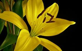 Картинка цветок, макро, лилия