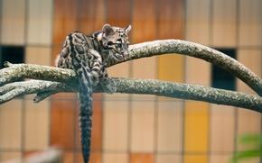 Обои хищник, зоопарк, детеныш, дикая кошка, дымчатый леопард