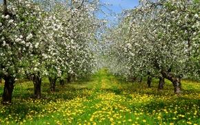 Картинка трава, деревья, цветы, весна, желтые, сад, одуванчики, цветут