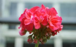Картинка цветок, макро, цветы, розовый, flower, photo, macro, walpappers