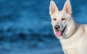 Картинка язык, морда, фон, собака, уши, Белая Швейцарская овчарка