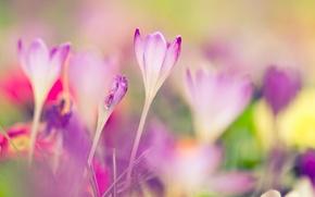 Картинка макро, весна, размытость, крокусы, первоцвет