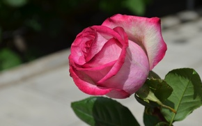 Картинка цветы, розовая, роза, серый фон, розовый цвет