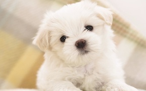 Картинка щенок, white, puppy, песик, cute, fluffy