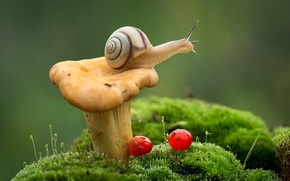 Обои мох, гриб, лисичка, улитка, макро, ягоды