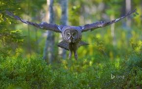 Картинка лес, полет, птица, крылья, большая серая сова