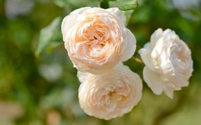 Обои нежность, макро, розы