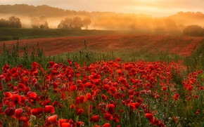 Картинка поле, небо, деревья, цветы, туман, маки