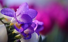 Обои li feng, flower, nature, drops, water, tender, природа
