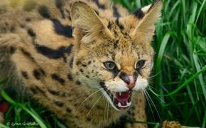 Картинка морда, злость, хищник, ярость, пасть, клыки, оскал, дикая кошка, угроза, сервал, кустарниковая кошка