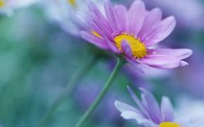 Картинка цветок, сиреневый, лепестки, размытость, стебель