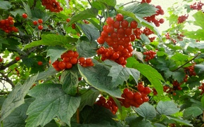 Картинка листья, ягоды, калина