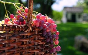 Обои ягоды, солнце, корзина, виноград