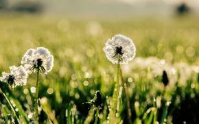 Картинка зелень, трава, солнце, макро, природа, роса, фон, одуванчик, widescreen, обои, размытие, луг, день, wallpaper, широкоформатные, …