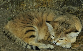 Картинка кот, природа, зверь, дикий, Барханный кот, песчаный кот