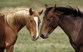 Картинка голова, конь, пятно, окрас, гривы, каурый, морда, отметина, лошади, пара, масть, белое, лошадь
