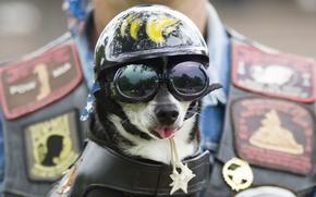 Картинка собака, очки, шлем