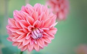 Картинка цветы, розовый, бутон