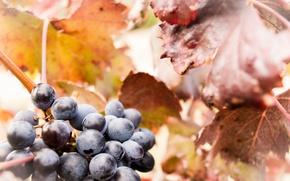 Картинка макро, ягоды, виноград