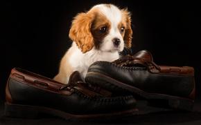 Картинка темный фон, обувь, собака, пара, туфли, щенок, мордашка, сидит, фотосессия, лапочка, кавалер кинг чарльз спаниель