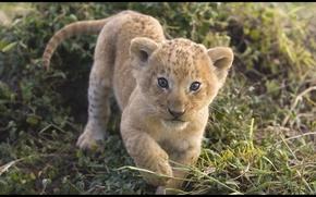 Картинка лето, хищник, малыш, прогулка, котёнок, львёнок