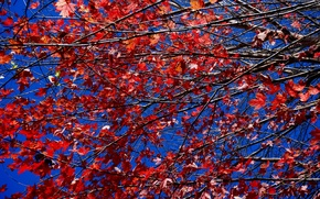 Картинка багрянец, небо, ветки, осень, листья